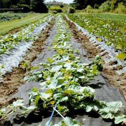 Агроволокно, спанбонд, Agreen, Plantex для защиты от сорняков, заморозков.